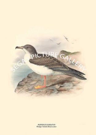 PUFFINUS CUNEATUS - Wedge-Tailed Shearwater